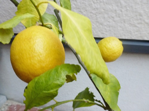 lemon006